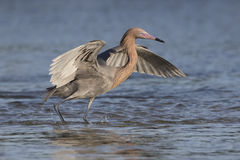 Reddish Egret with its Wings Spread as it Stalks a Fish Stock Photo