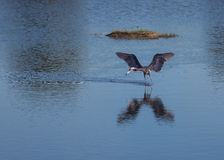 Reddish Egret Looking for Luch Royalty Free Stock Photos