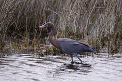 Reddish egret. Merritt Island, Florida, FL, Merritt Island National Wildlife Refuge, MINWR royalty free stock photos