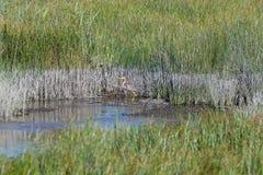 Reddish Egret. In Ovar`s lagoon, near Aveiro, Portugal Stock Photo