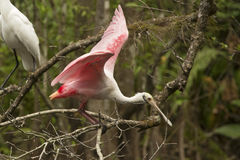 Roseate spoonbill perched on a branch in the Florida Everglades. Roseate spoonbill perches on a branch over the water with wings outspread at Corkscrew Swamp in stock photography