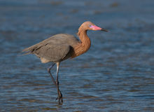 Reddish Egret. Photograph of a beautiful Reddish Egret hunting for food in the shallow waters on the gulf coast of Texas Royalty Free Stock Photo
