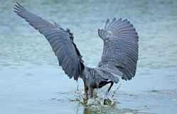 Reddish egret plunging its head into water, Florida. Royalty Free Stock Photo