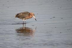 Reddish Egret at Sanibel Island, FL. A beautiful adult Reddish Egret wading in a lagoon on Sanibel Island, Florida stock photo