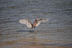 A Reddish Egret seen in a hunting dance Royalty Free Stock Photos