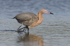 Reddish Egret Stalking a Fish. Reddish Egret (Egretta rufescens) Stalking a Fish in a Salt Water Lagoon - Fort de Soto, Florida Stock Photo