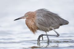 Reddish Egret stalking a fish - Fort De Soto Park, Florida. Reddish Egret Egretta rufescens stalking a fish - Fort De Soto Park, Florida Stock Photos