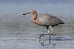 Reddish Egret stalking a fish - Pinellas County, Florida. Reddish Egret Egretta rufescens stalking a fish - Pinellas County, Florida Stock Photography