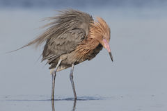 Reddish Egret Stalking a Fish in a Shallow Tidal Lagoon - Florid Royalty Free Stock Images
