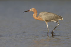 Reddish Egret stalking its prey - Florida Royalty Free Stock Images