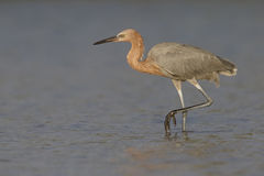 Reddish Egret stalking its prey in a lagoon - Florida. Reddish Egret Egretta rufescens stalking its prey in a shallow lagoon - St. Petersburg, Florida Royalty Free Stock Images