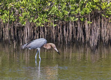 Reddish Egret Stalks Prey Stock Image