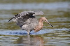 Reddish Egret using its wings to form a canopy as it stalks a fish - Fort De Soto Park, Florida stock image