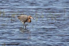 Reddish Egret Wades Wetland. A reddish egret stalks fish while wading in a shallow pond of a Florida wildlife refuge Royalty Free Stock Images