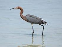 Reddish egret wading along beach on Florida's Gulf Coast. Stock Images