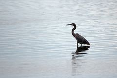 Reddish Egret wading in brackish waters of nature preserve lagoon in San Jose del Cabo in Baja California Mexico royalty free stock photos