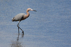 Reddish egret wading in a saltwater marsh stock photography