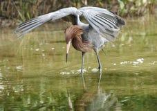 Reddish egret wading, wings lifted, on Florida's Gulf Coast. Royalty Free Stock Images