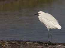 Reddish Egret White Morph Stock Photography
