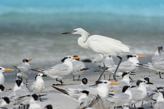 Reddish Egret (white morph) Stock Photos