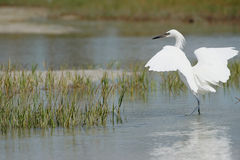 Reddish Egret (white morph) Stock Photo
