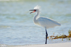 Reddish Egret (white morph) Stock Images