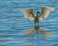 Reddish Egret in White Morph Phase Stock Photography