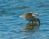 Reddish Egret in White Morph Phase Stock Photo