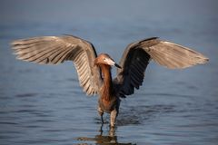 Free Reddish Egret With Open Wings  &x28;Egretta Rufescens&x29;, Fort Myers, Florida Stock Photos - 150014803