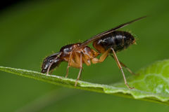 A reddish female winged ant Stock Photography