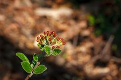Reddish flower buds on a shrub twig. Young reddish flower buds  on a twig with small green leaves in the sun on blurred background on a sunny springtime day Stock Images