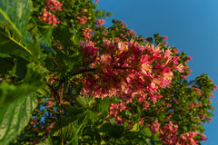 Reddish flowers of chestnut tree at sunset in Spring. Germany Royalty Free Stock Photography