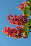Reddish flowers of chestnut tree at sunset in Spring. Germany Royalty Free Stock Images