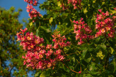 Reddish flowers of chestnut tree at sunset in Spring. Germany Royalty Free Stock Photo