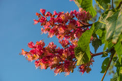 Reddish flowers of chestnut tree at sunset in Spring. Germany Royalty Free Stock Photos