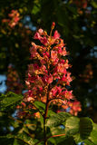 Reddish flowers of chestnut tree at sunset in Spring. Germany Stock Photos