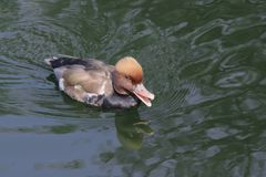 Reddish gray duck with red eyes and a serious expression floats. On the water surface Royalty Free Stock Photos