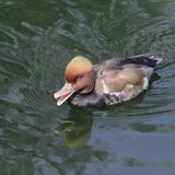 Reddish gray duck with red eyes and a serious expression floats. On the water surface Stock Photo