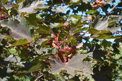 Reddish green foliage and samaras of maple cultivar. Reddish green foliage and samaras of Norway maple cultivar royalty free stock photography
