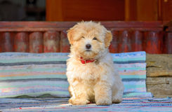 Reddish havanese puppy dog Royalty Free Stock Photography