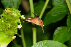 Reddish Hermit. Hovering sipping on flowers, Costa Rica Stock Photo