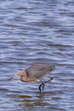Reddish heron Stock Images