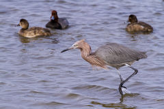 Reddish heron Royalty Free Stock Photos