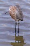 Reddish heron. In natural habitat on South Padre Island, TX Royalty Free Stock Photography