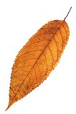 Reddish isolated cherry leaf Stock Image