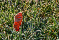 Reddish leaf on ground in frosted green grass. Beautiful autumnal background Stock Photo