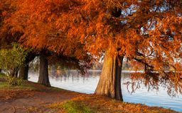 Reddish leaf tree near the lake late autumn.  stock photo
