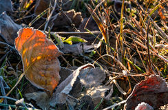 Reddish leafs on ground in frosted grass. Beautiful autumnal background royalty free stock images