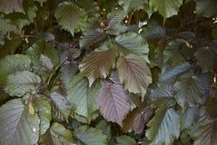 Foliage of Corylus maxima. Reddish leaves of Corylus maxima plant stock photography