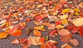Reddish leaves fallen on asphalt, just fall came stock photography